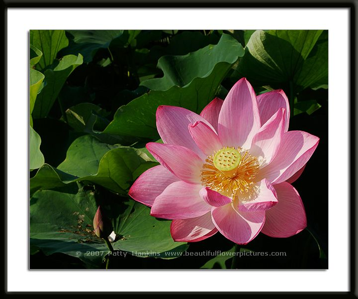 lotus blossom photo gallery, Beautiful flower