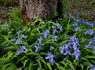 Crested Dwarf Iris & Star Chickweed
