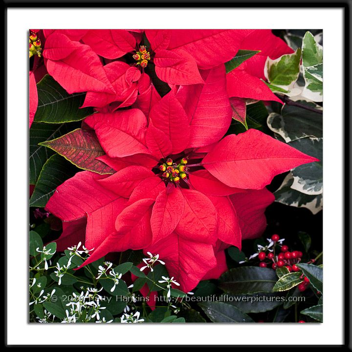 Christmas Feeling Poinsettia