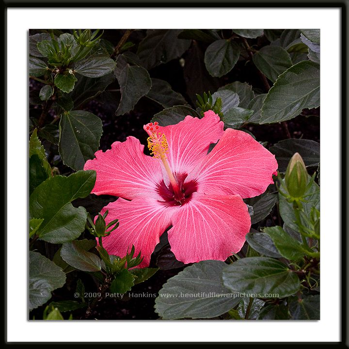 Painted Lady Hibiscus Photo