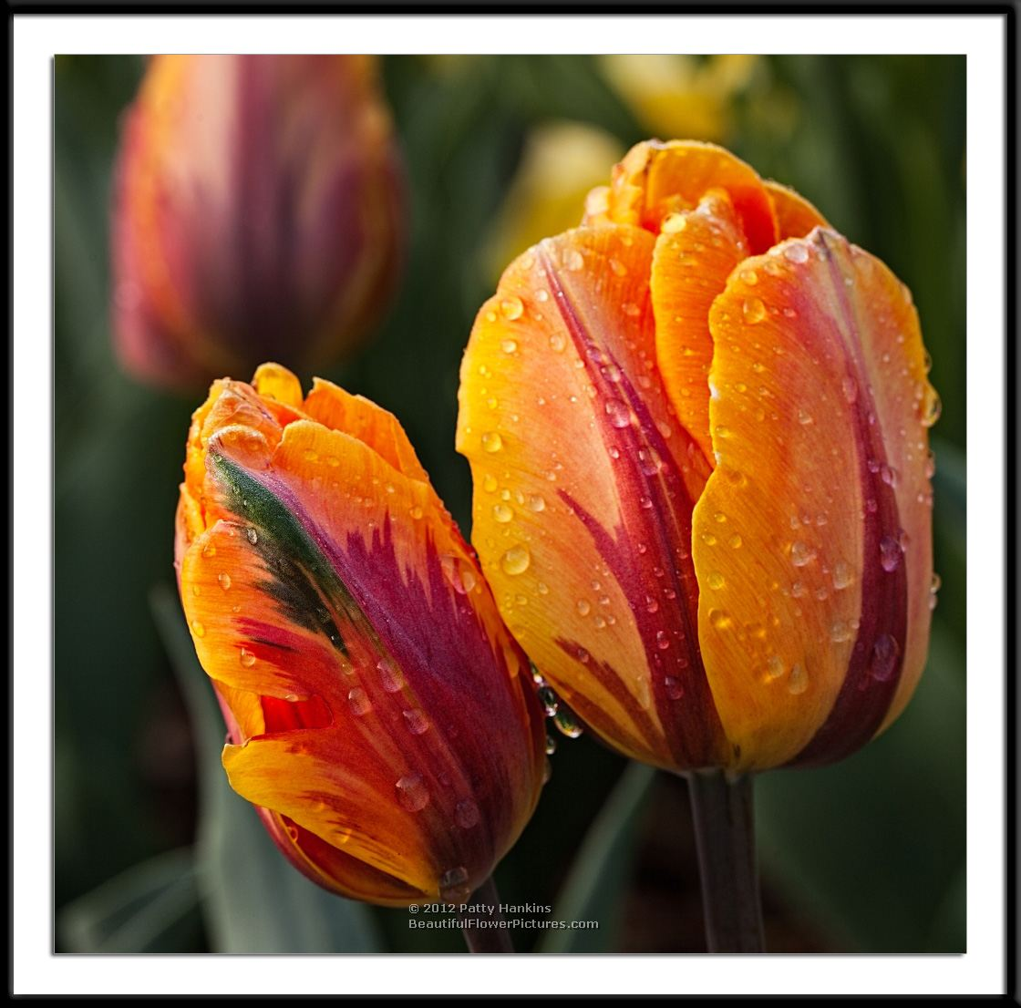 Princess Irene Tulips