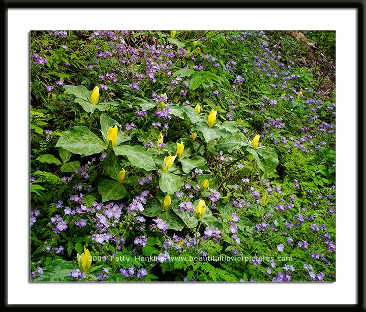 Yellow Trillium and purple phacelia