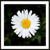 Margueritedaisy Flowers on Golden Marguerite Daisy