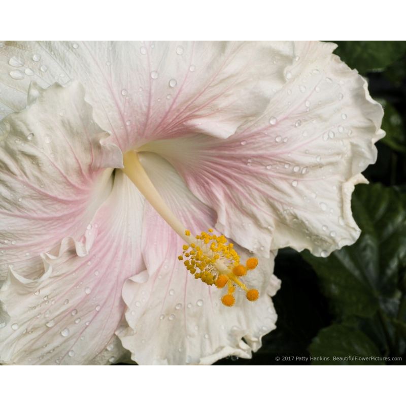 Pearl Hibiscus