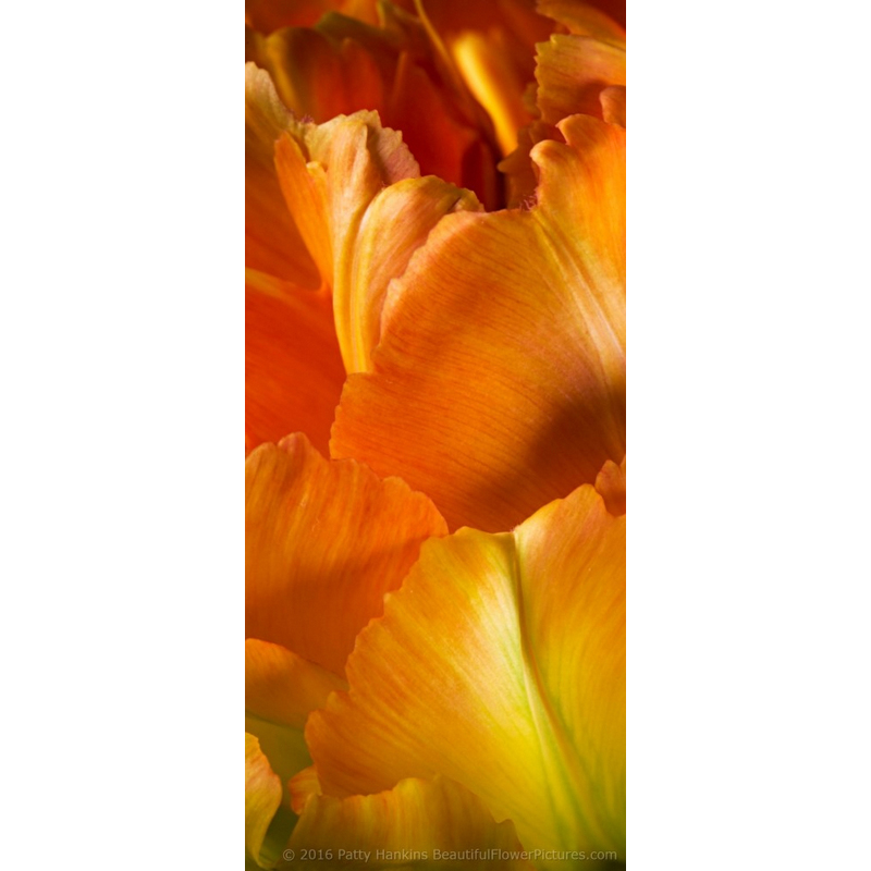 Orange & Yellow Tulips Petals I
