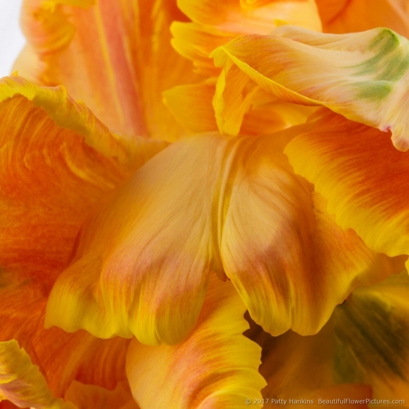 Petals of an Orange Parrot Tulip II