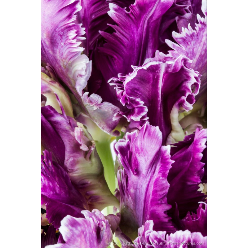 Petals of a Purple Parrot Tulip