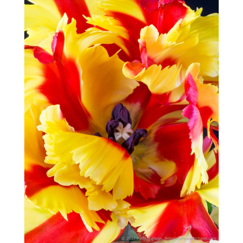 Center of a Flaming Parrot Tulip