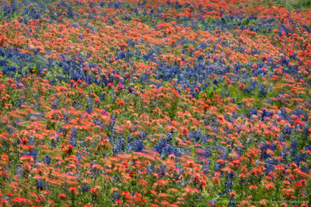 Texas Wildflowers in the Wind