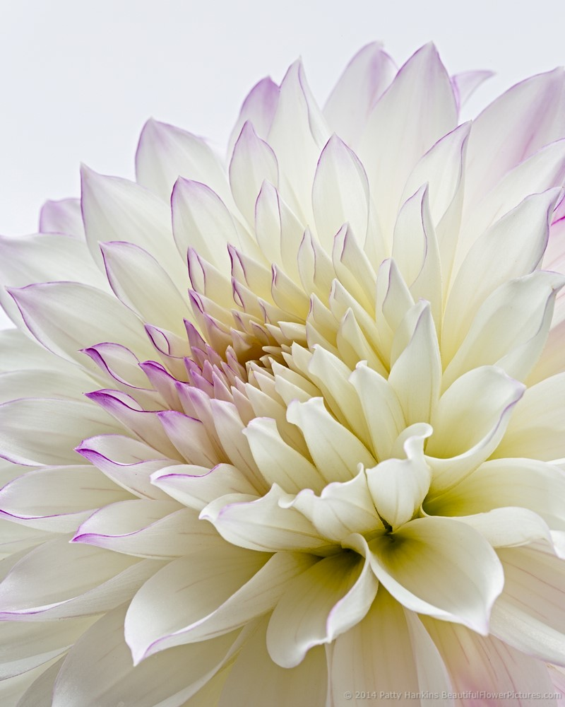 Petals of a Purple & White Dahlia