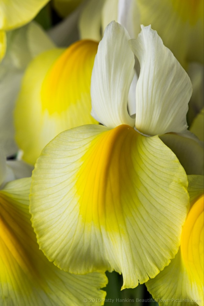 Yellow & White Siberian Irises