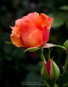 2013_06_rose_tahitian_sunset_9577