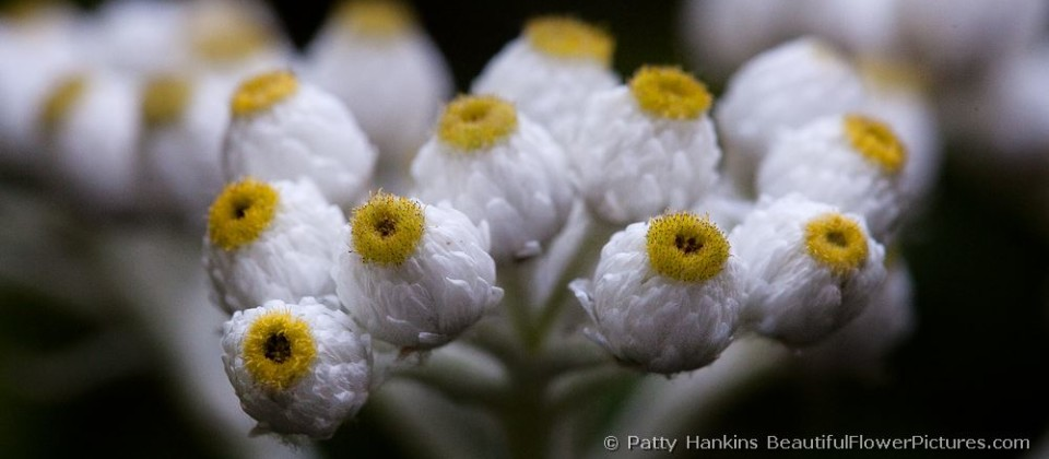 bfp_pearly_everlasting