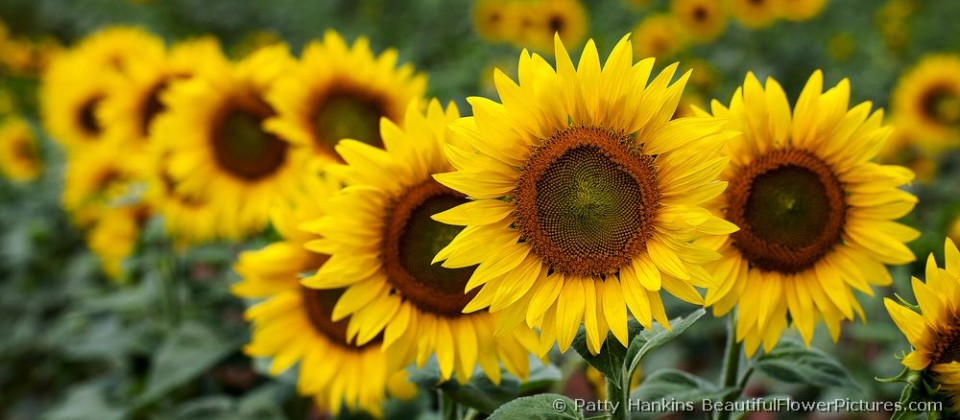 bfp_sunflower_row