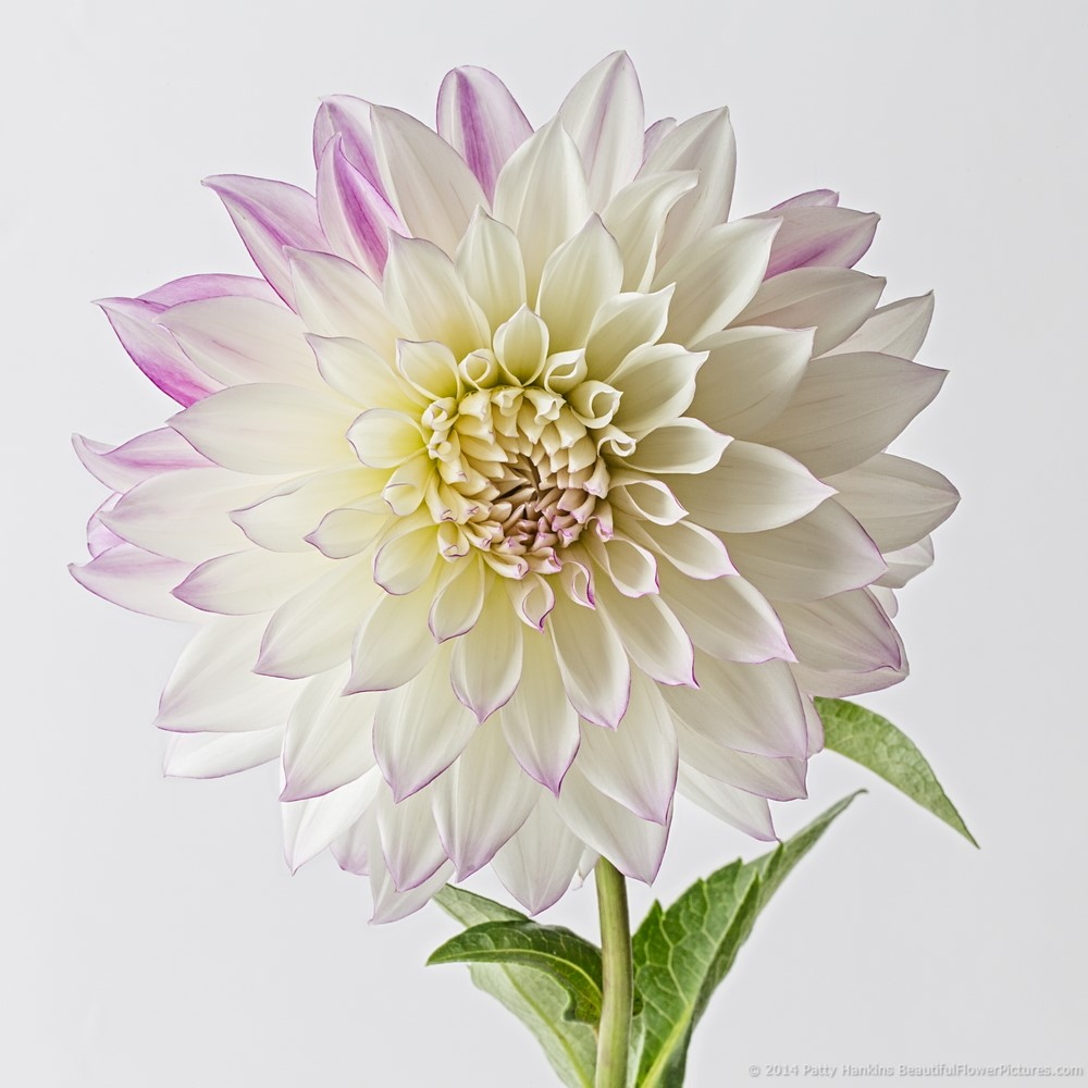 dahlia_purple_white_1498
