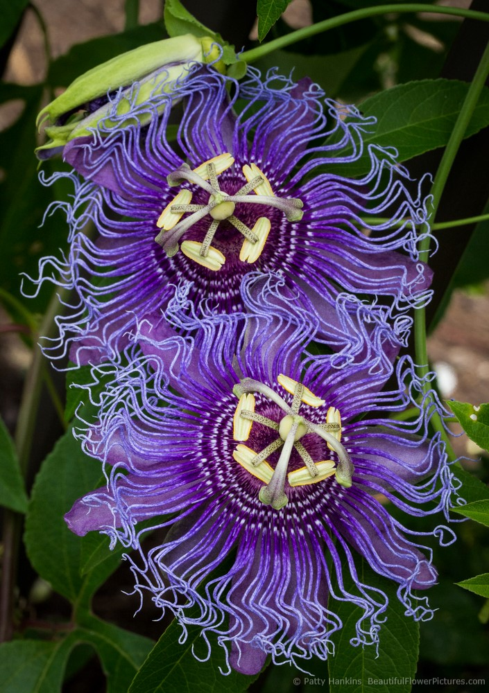 2012_08_passionflower_2681