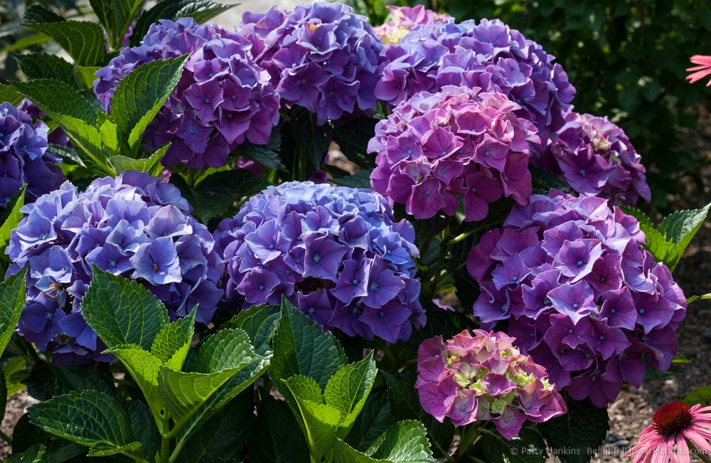 2013_04_hydrangea_forever_pink_4439