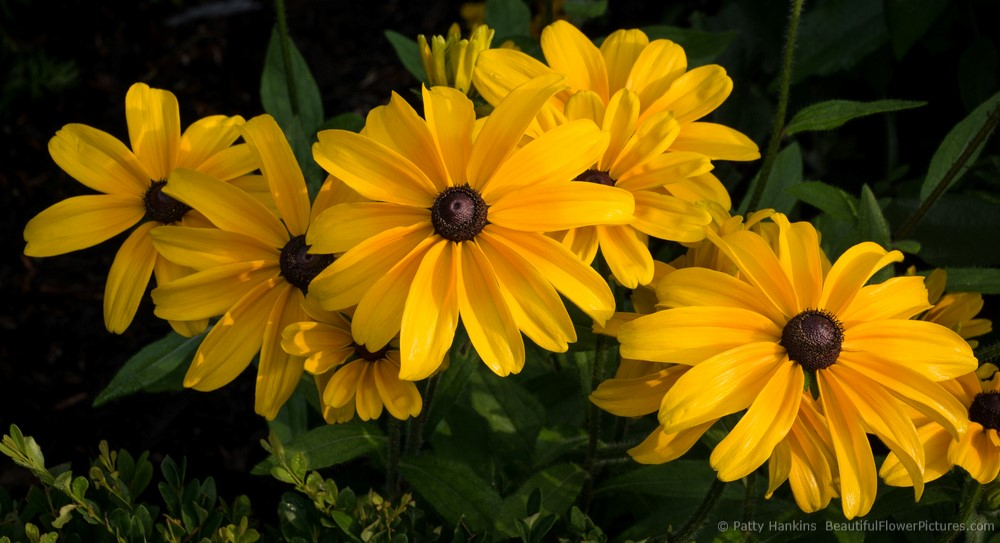 2014_07_black_eyed_susan_indian_summer_0779