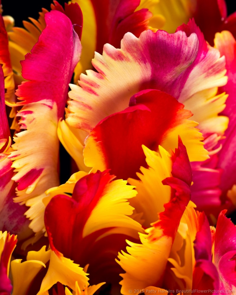 tulip_flaming_parrot