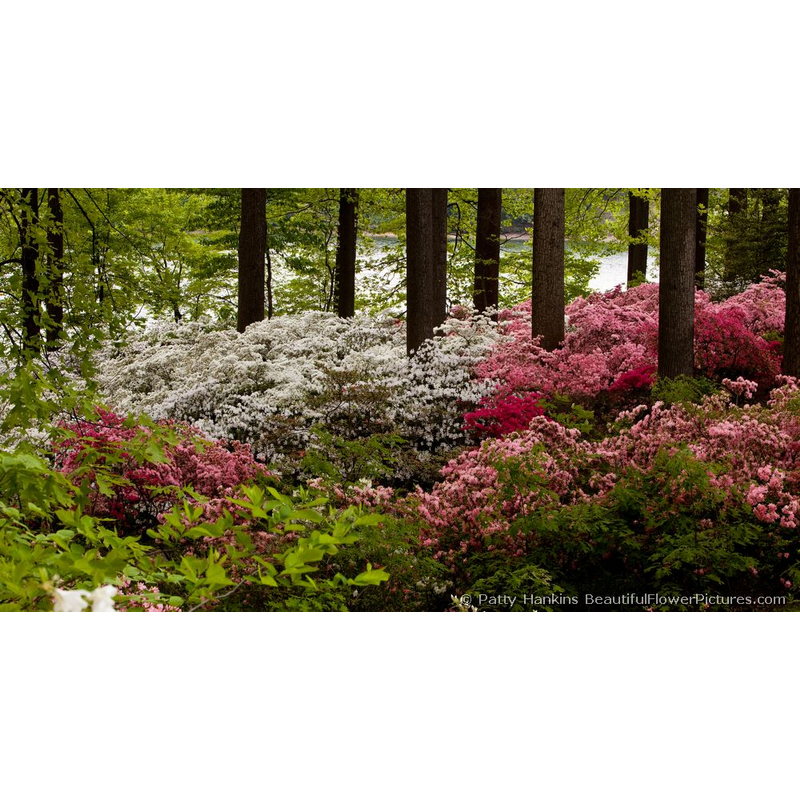 Azaleas In the Woods