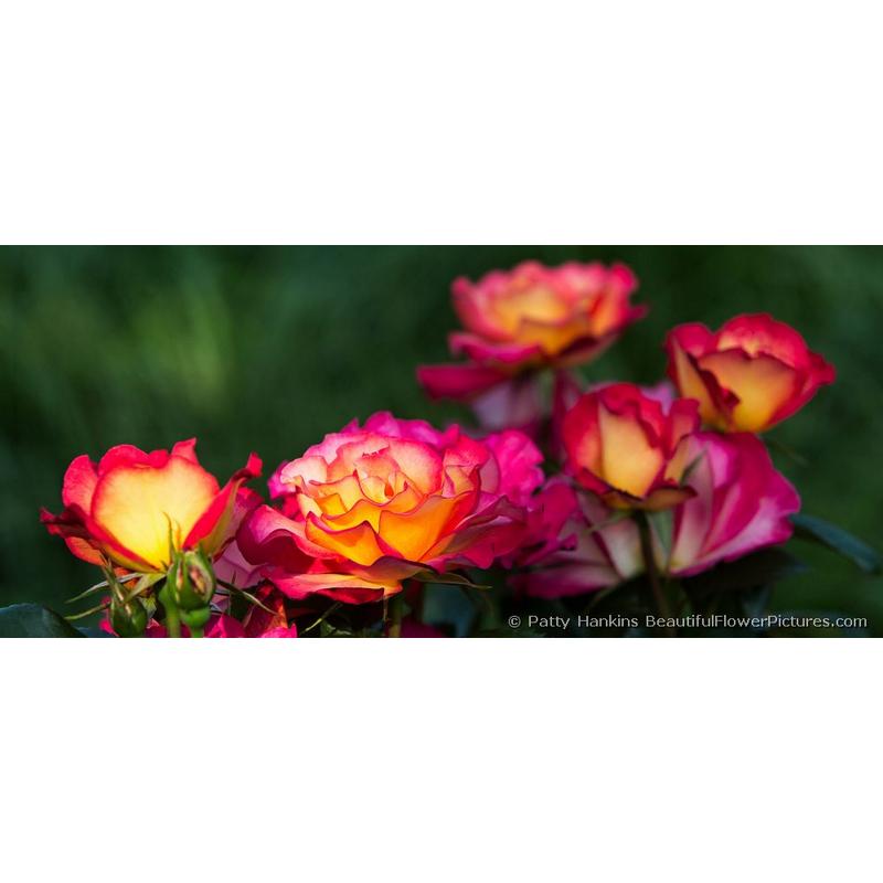 Rainbow Sorbet Roses