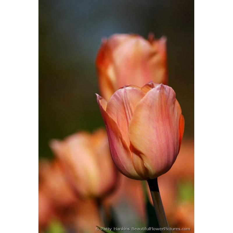 Salmon Pearl Tulips