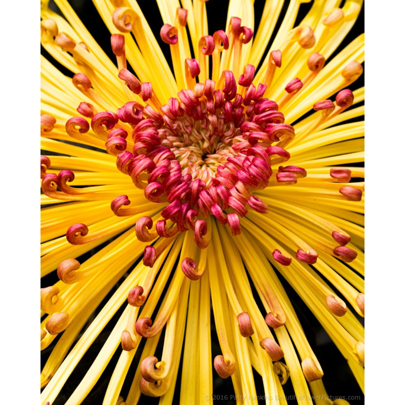 Lava Chrysanthemum