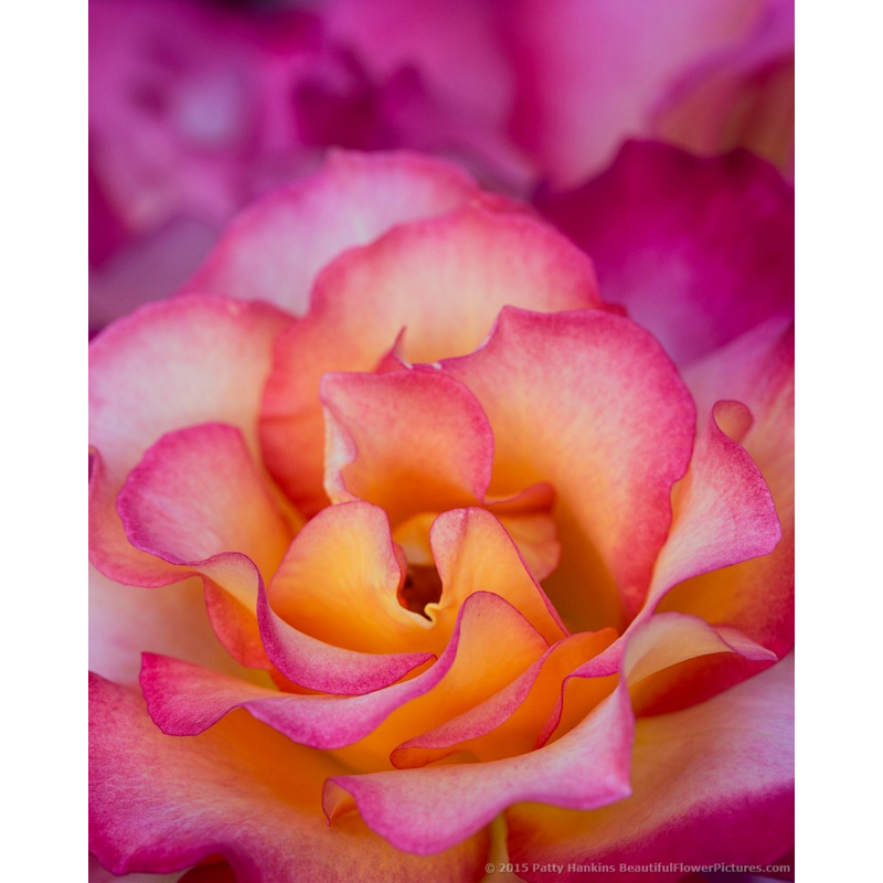 Rainbow Sorbet Rose