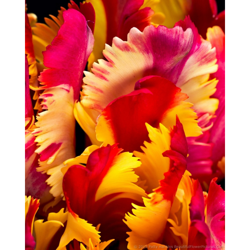 Petals of a Flaming Parrot Tulip
