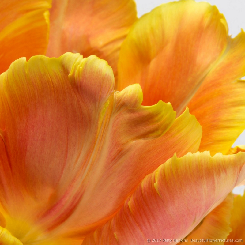 Petals of an Orange Parrot Tulip I