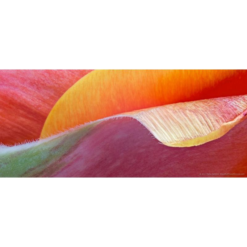 Tulip Petal Wave