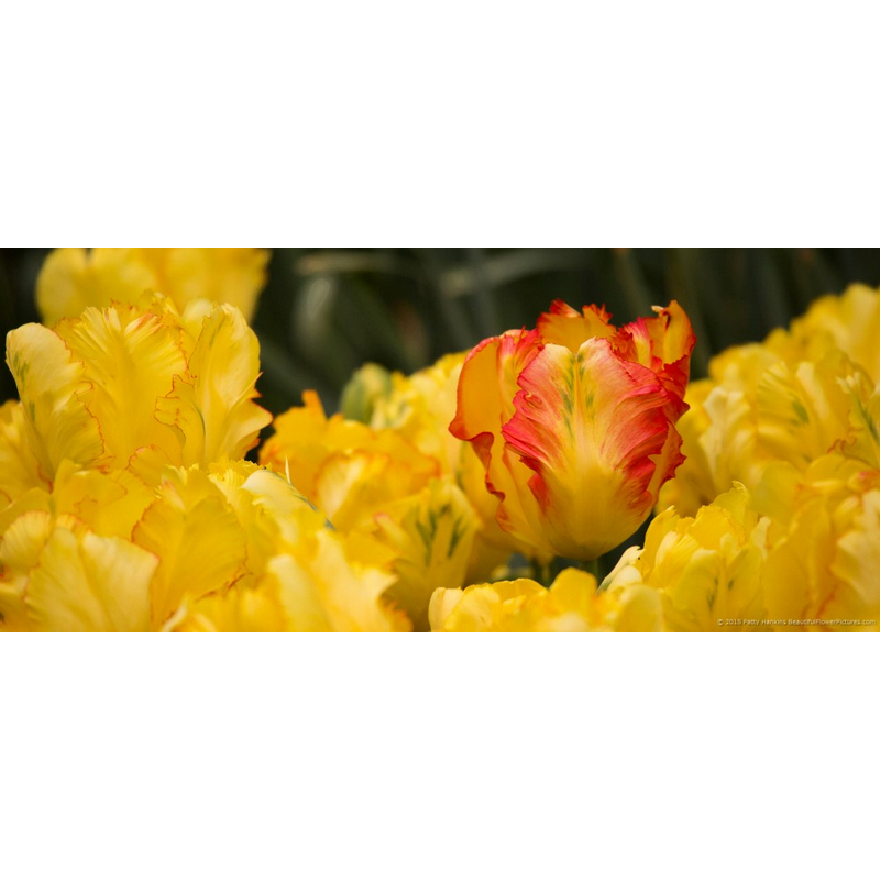 Texas Gold Parrot Tulips
