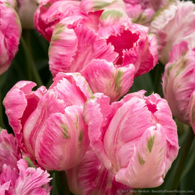 Weber's Parrot Tulips