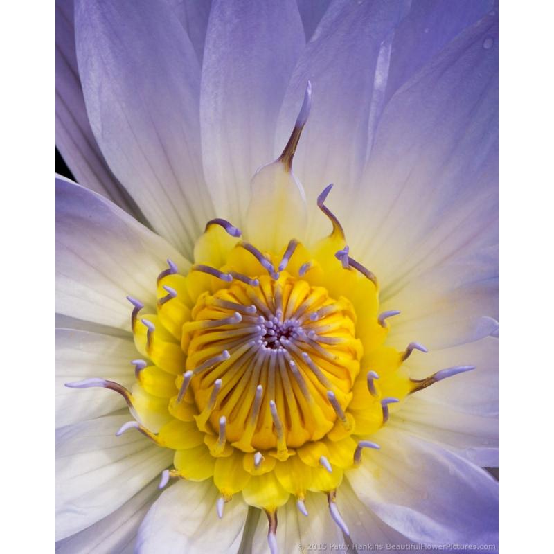 Bob Trickett Water Lily