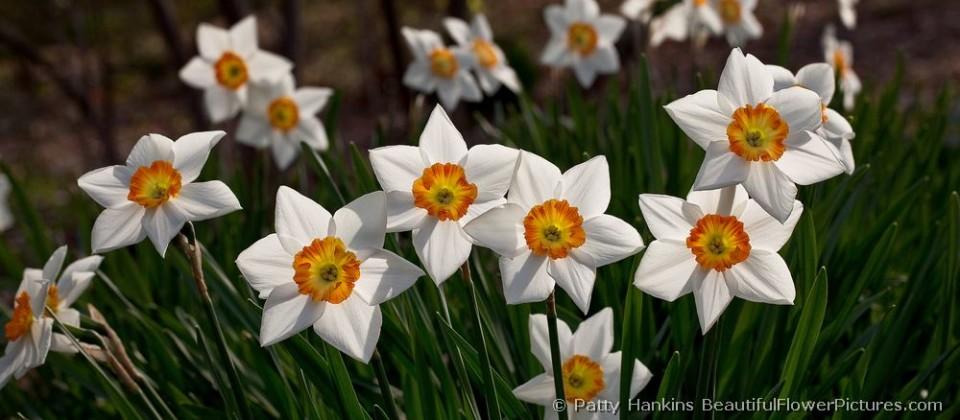 Small cuppd hybrid daffodil – Kindergarten – narcissus2