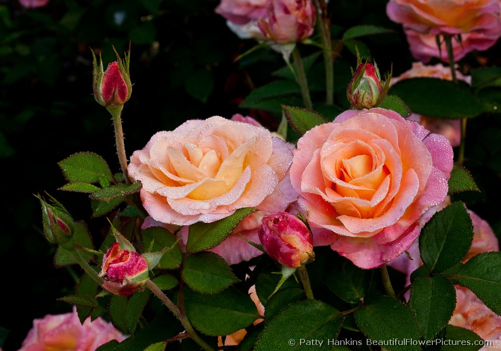 Pair of Day Breaker Roses