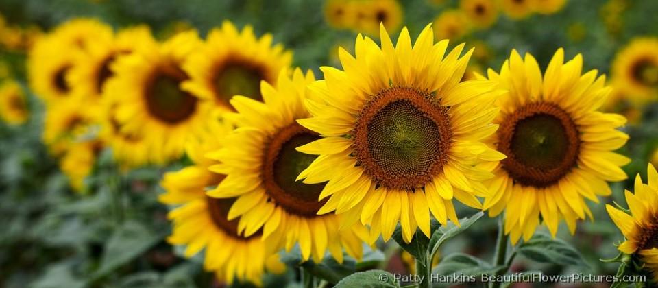 bfp_sunflower_row