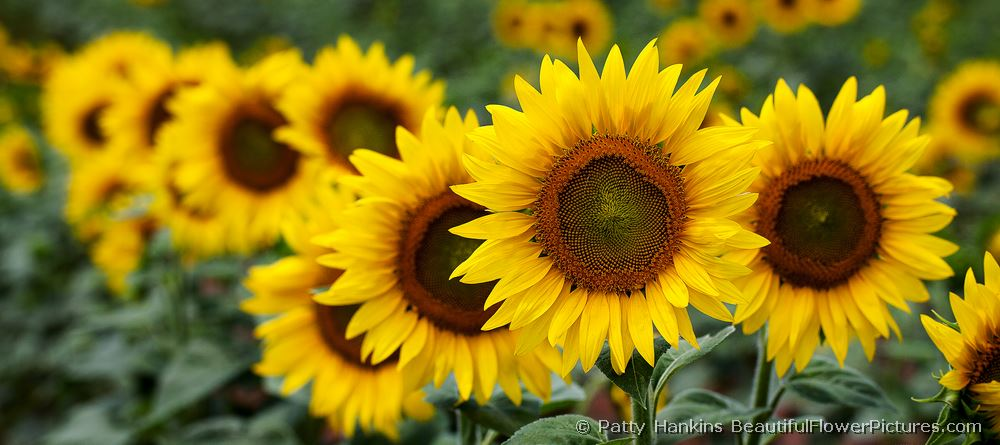 Row of Sunflowers