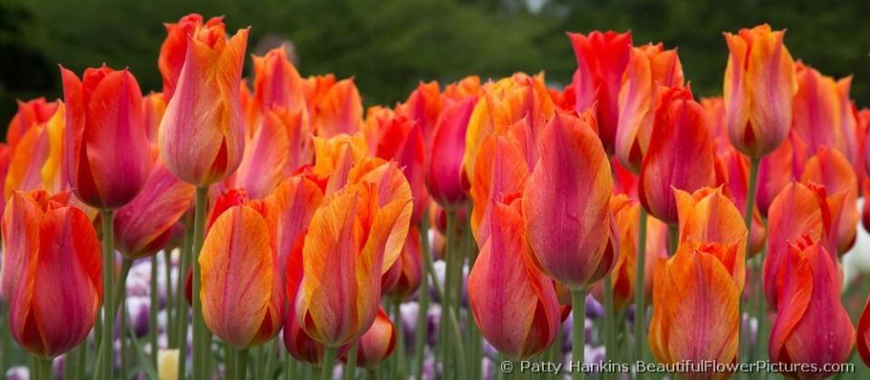 bfp_tulip_el_nino