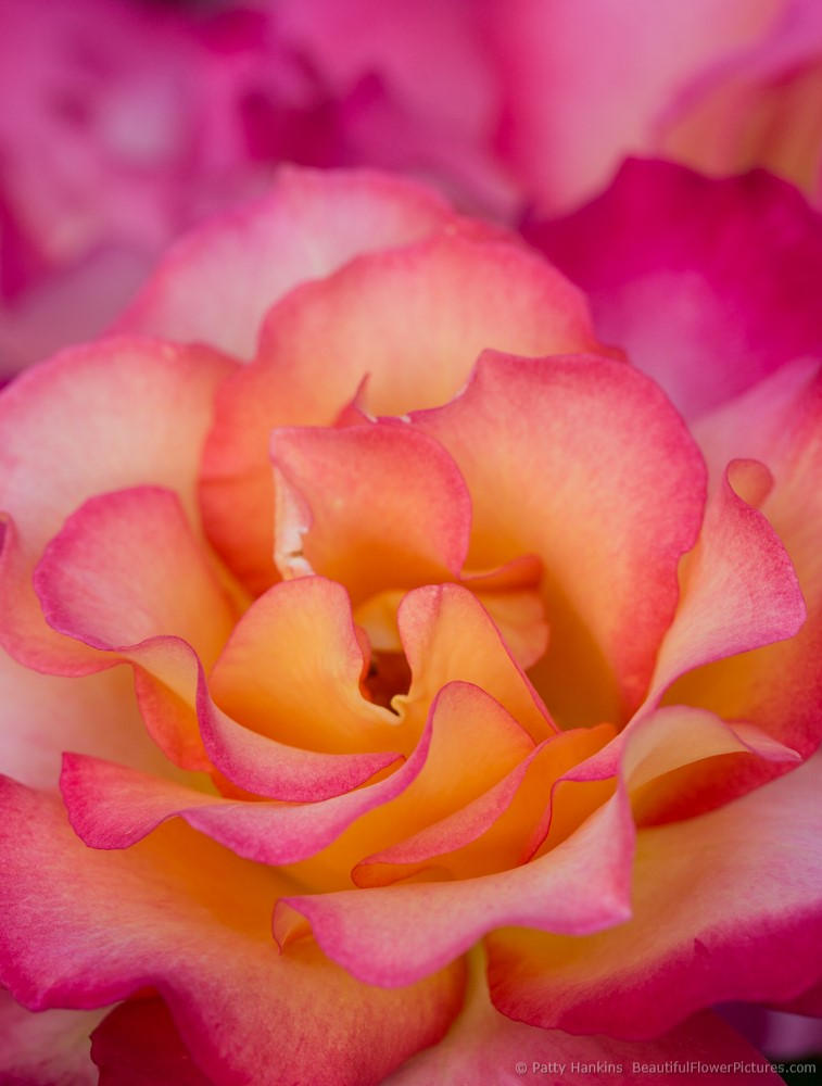 2013_06_rose_rainbow_sorbet_9427