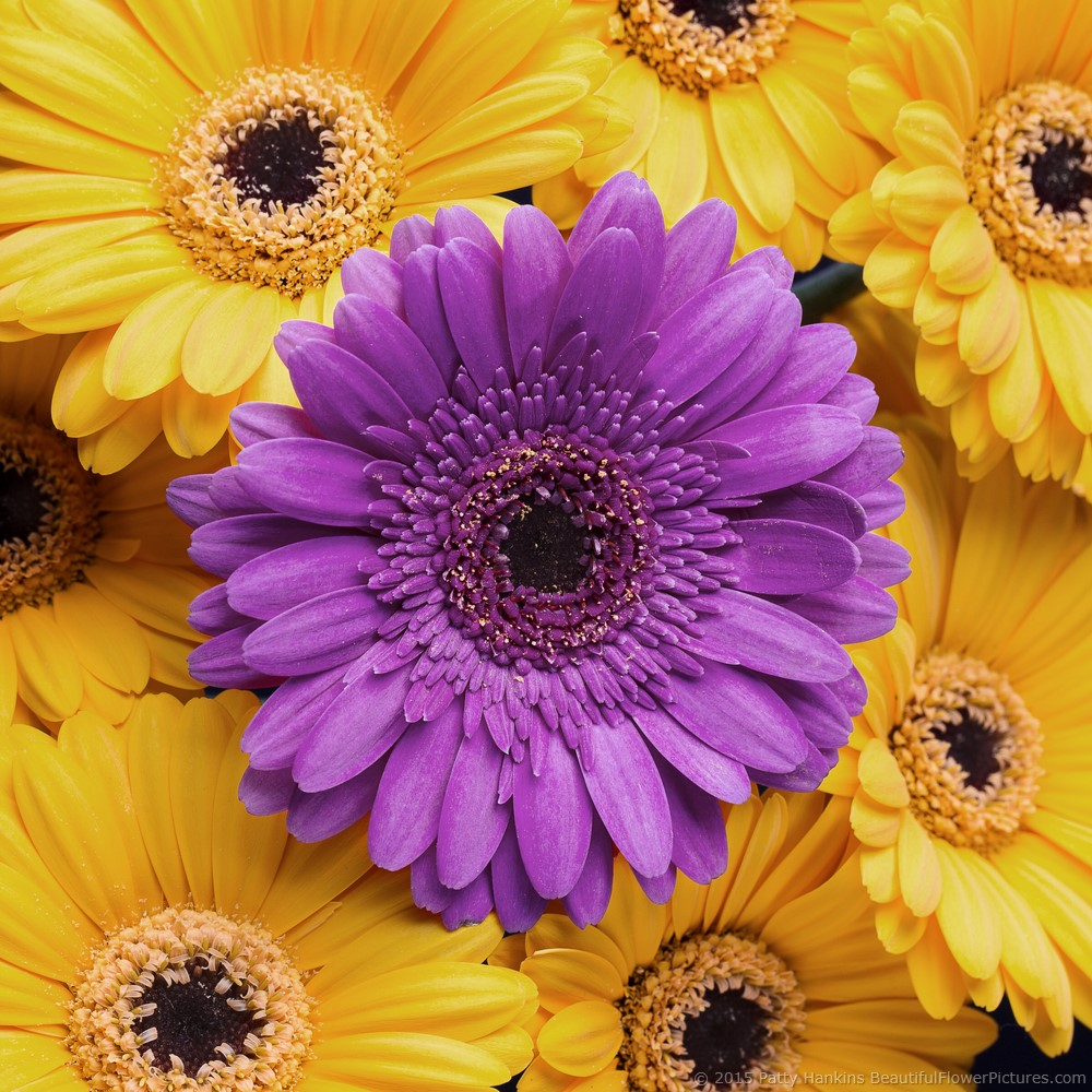 daisy_gerbera_picture_perfect_mundi