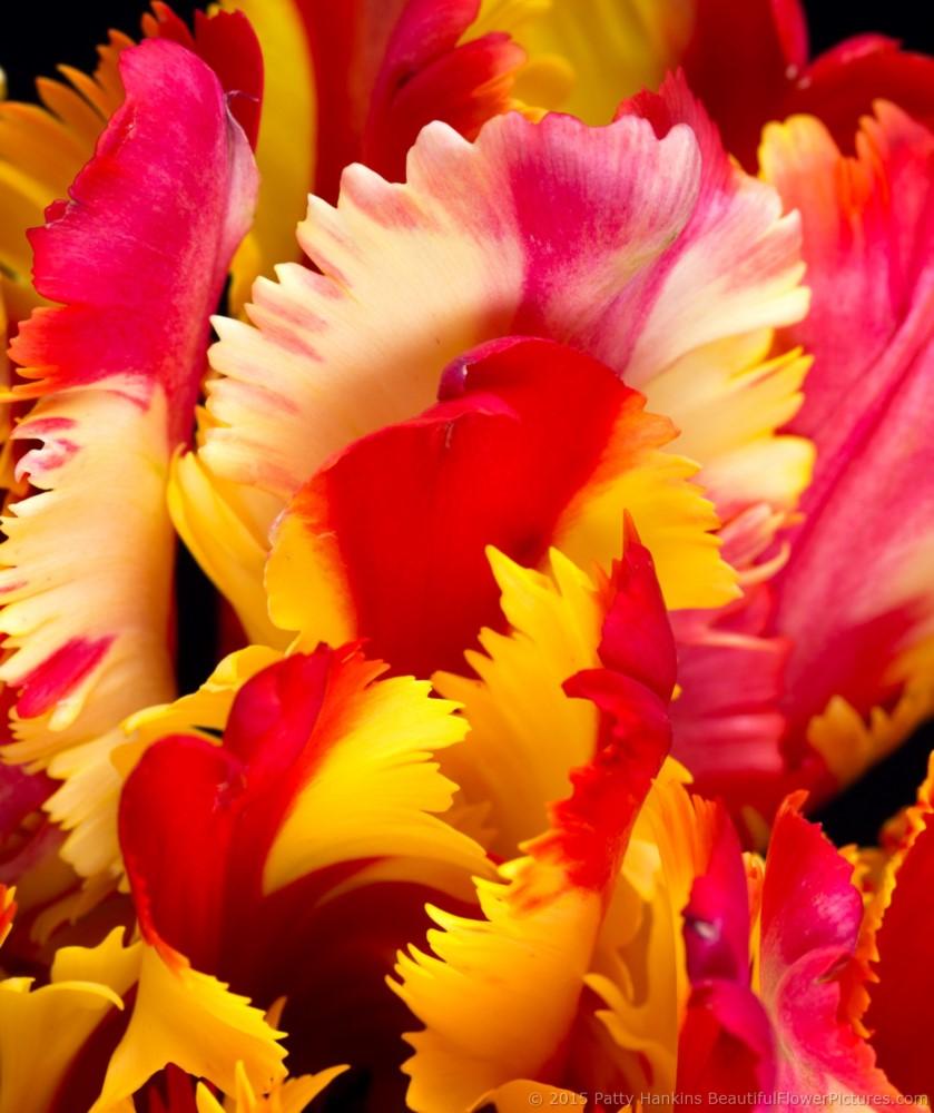 2015_11_tulip_flaming_parrot_5106