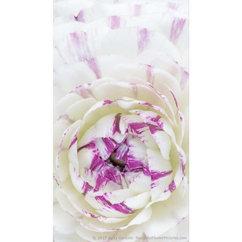 Purple and White Ranunculus