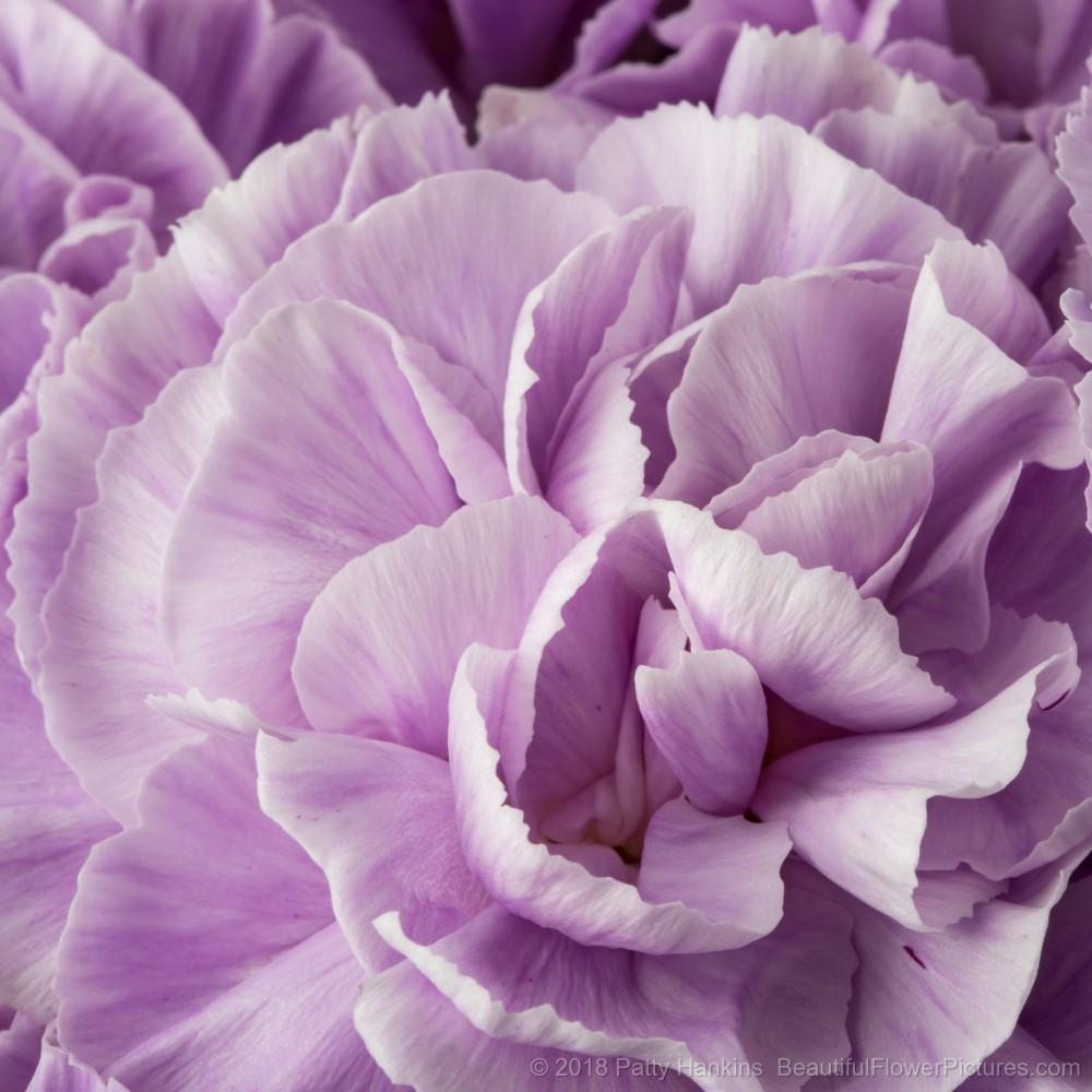 Lavender Carnations