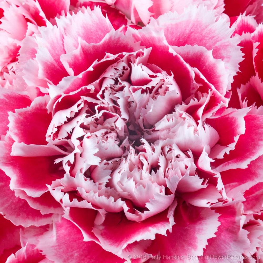 Pink Gelato Carnation