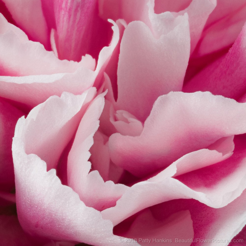 Petals of a Pink & White Carnation