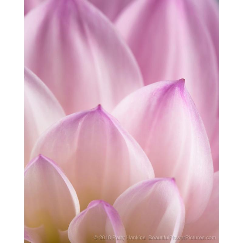 Petals of an Amanda Dahlia