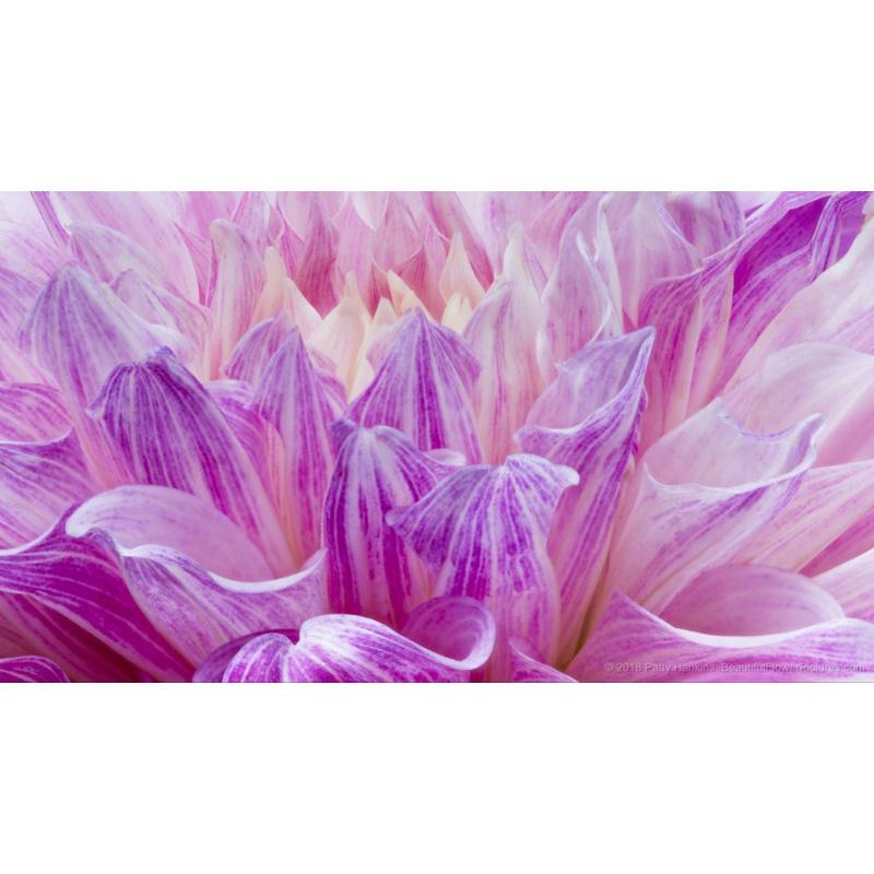 Purple Rain Dahlia Petals