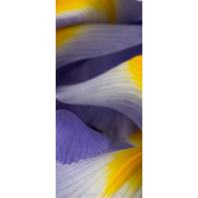 Lavender Siberian Iris Petals (panoramic)