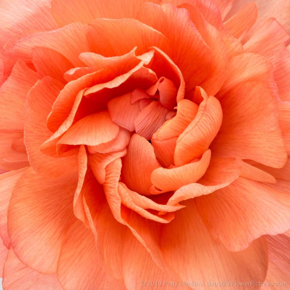 Center of an Orange Ranunculus